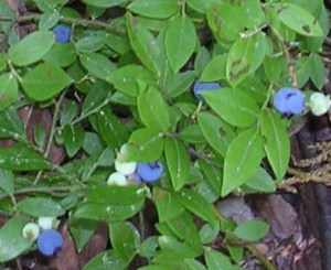 Wild blueberries on Sawyer Mountain