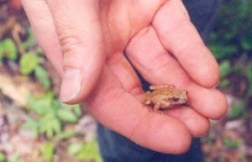 Toad in Maine