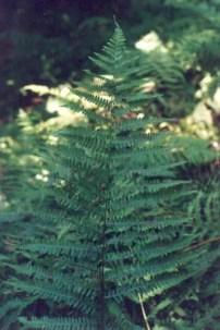 Silvery Spleenwort (Athyrium thelypteroides)