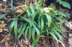 Plantain-leaved Sedge (Carex plantaginea)