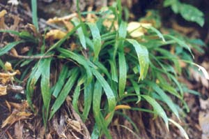 Plantain-leaved Sedge (Carex plantaginea)