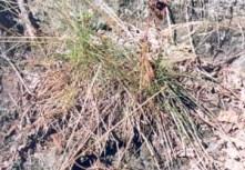 Poverty Grass (Corema conradii)