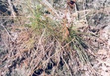 Poverty Grass (Corema conradii)