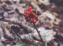 Jack-in-the-pulpit (Arisama stewardsonii)
