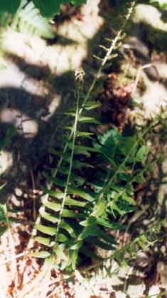 Christmas Fern, Polystichum acrostichoides