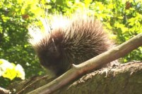 Young Maine porcupine