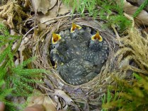 Four hermit thrush babies await food in their nest. Photo by: Don Cameron
